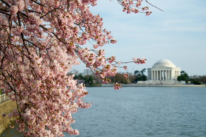 Pink cherry blossoms and the Jefferson Memorial in Washington DC