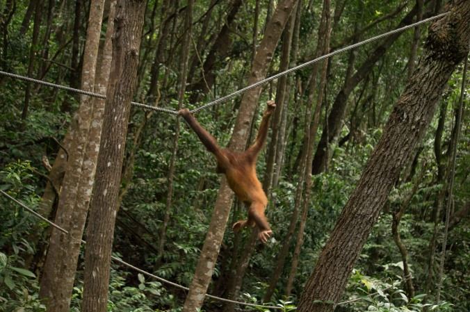 A young orangutan swings on a rope in the Malaysian jungle at Rasa Ria Nature Reserve