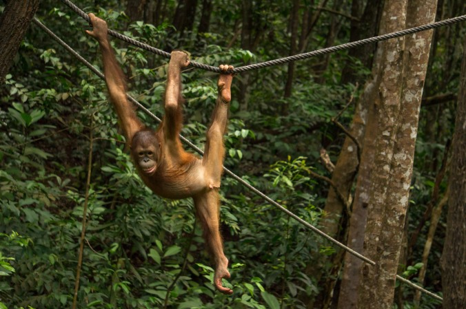 A young orangutans hangs onto a rope with two hands and one foot at Rasa Ria's Nature Reserve in Malaysian Borneo
