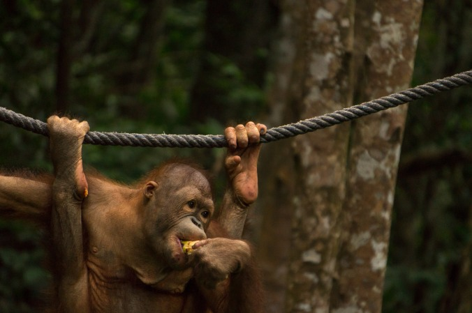 A young orangutan hangs on a rope and eats fruit at Rasa Ria Nature Reserve