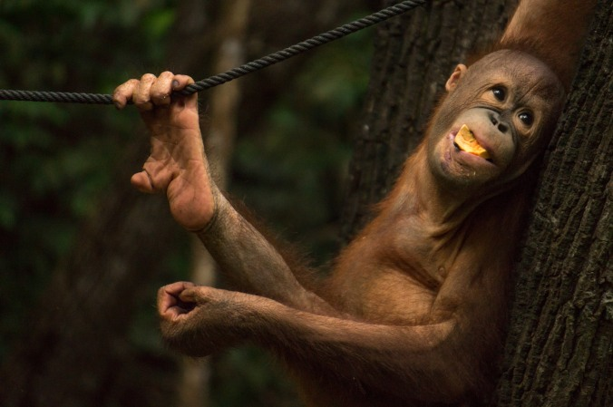 A baby orangutan has a mouthful of fruit at Rasa Ria Nature Reserve in Malaysian Borneo