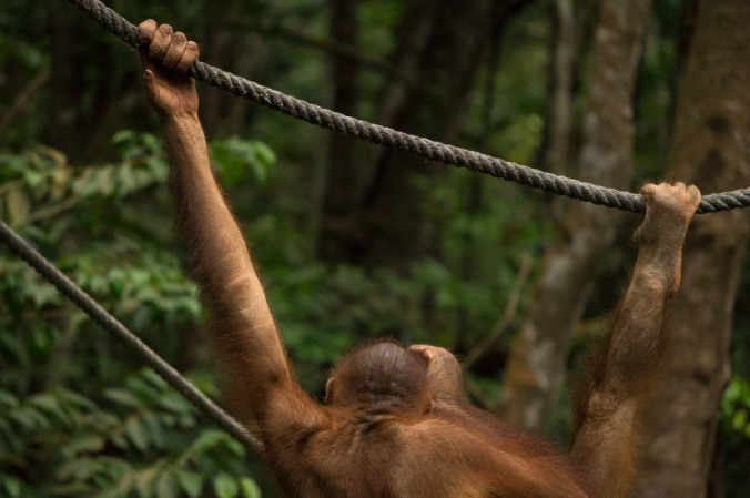 An orangutan grips a rope with his hands at Rasa Ria Resort in Malaysian Borneo