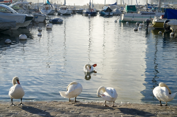 Swans and boats on Lake Geneva, Geneva, Switzerland