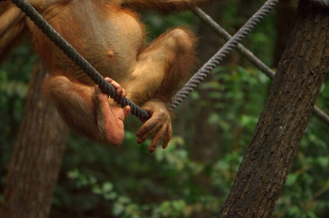 A young orangutan uses his feet to grip a rope at his rehabilitation center, the Shangri La Rasa Ria Nature Reserve near Kota Kinabalu, Malaysian Borneo.